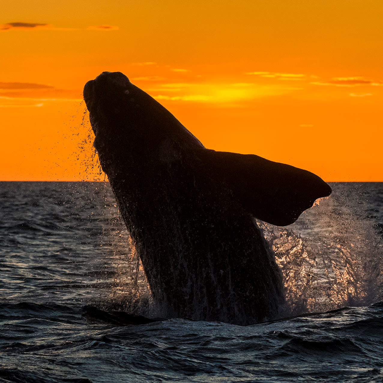 whale breach sunset