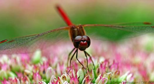 Dragonfly on pink flower