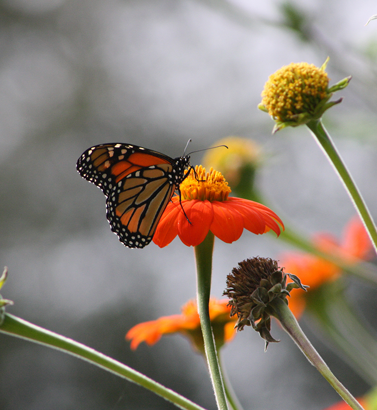 monarch butterfly on orange flower