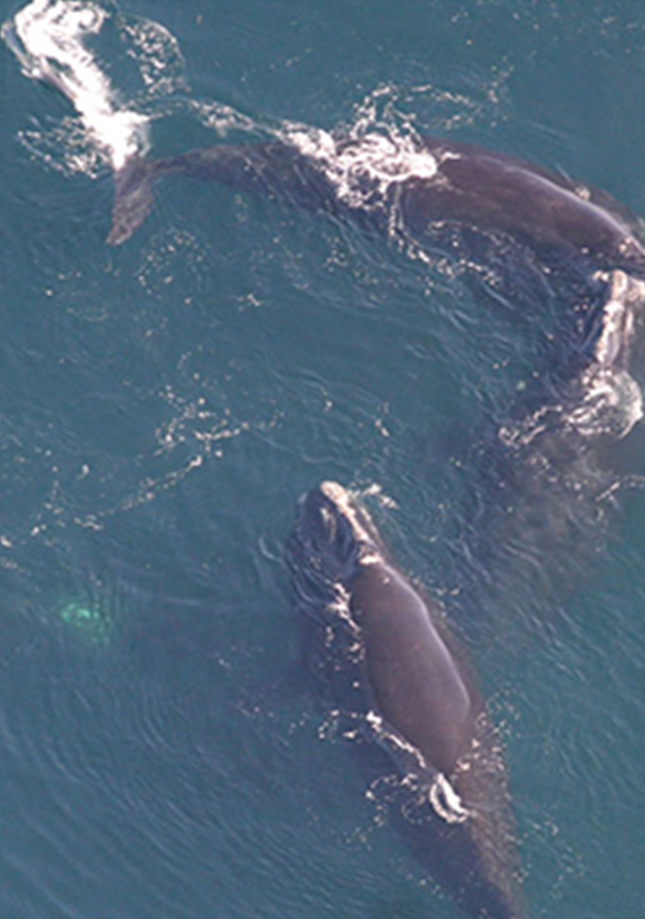 right whale family